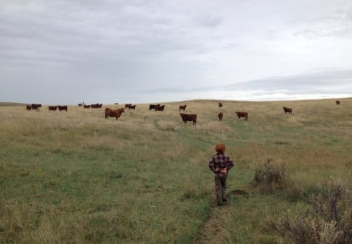 Red Talus meets Red Angus cattle, aka hamburger cows